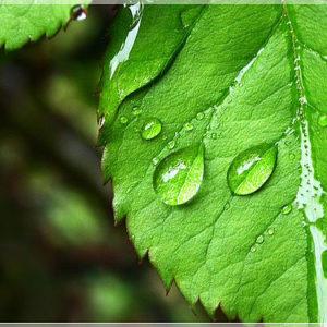Гидролат Смородины (молодые листья) Ayurvedic Soap Laura Forest