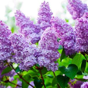 Гидролат Цветы сирени Ayurvedic Soap Laura Forest